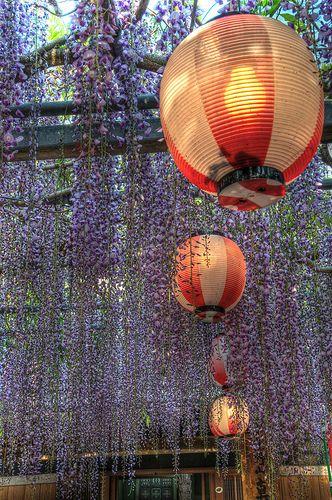 紫の雨〜木本大師教会の藤棚@熊野市木本町 11-04-30