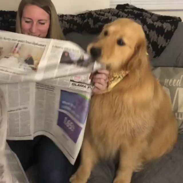 Golden Retrievers On Instagram Eating Newspaper For Breakfast