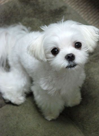 maltese puppy cut pictures 1000 images about maltese cuts on pinterest 336