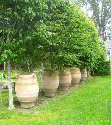 Potted Trees For Patio Privacy
