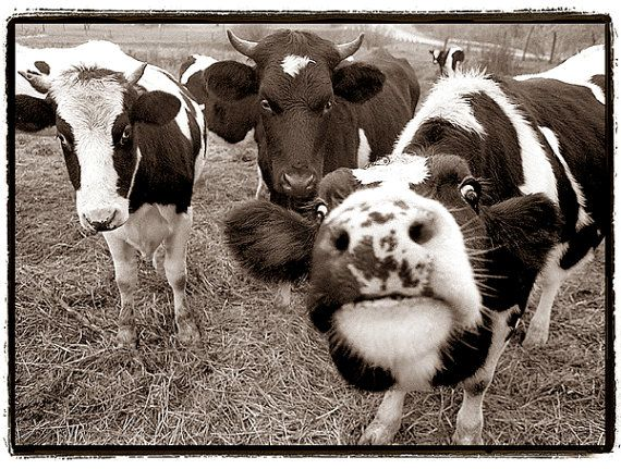 Best 25 funny cows ideas on pinterest funny cow - Funny pictures farm animals ...