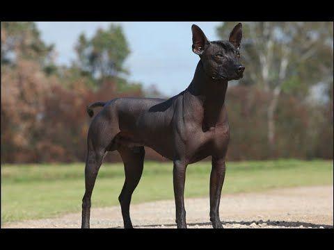 Xoloitzcuintli Dog Show 2016 WKC Westminster Kennel Club