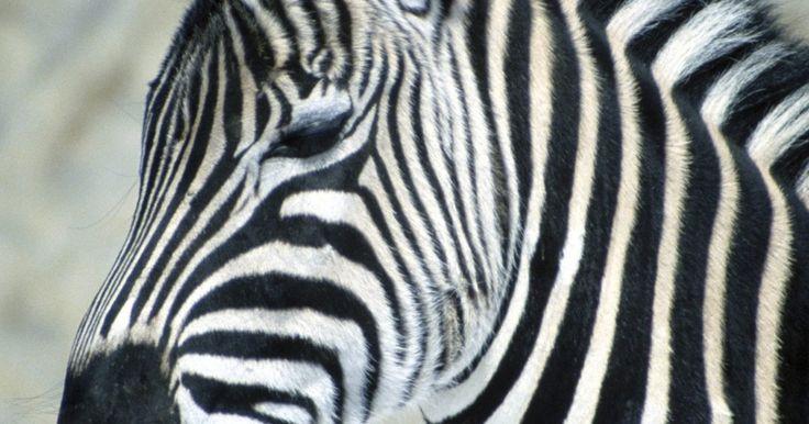 Tipos de folhas que as zebras comem. As zebras, que possuem parentesco com os burros e cavalos, são conhecidas por suas listras exclusivas que ajudam a camuflá-las dos predadores. As três espécies de zebra incluem zebra de Grevy, zebra de montanha e zebra de planície, também conhecida como zebra comum. Todas as espécies de zebra são animais com uma dieta composta principalmente de ...