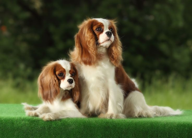 Cavalier King Charles Spaniel -20 Small dog breeds that are the cutest creatures on the planet