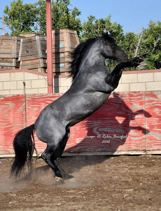 Stunning blue roan!!! working cow horse Cutting western quarter paint horse appaloosa equine tack cowboy cowgirl rodeo ranch show ponypleasure barrel racing pole bending saddle bronc gymkhana