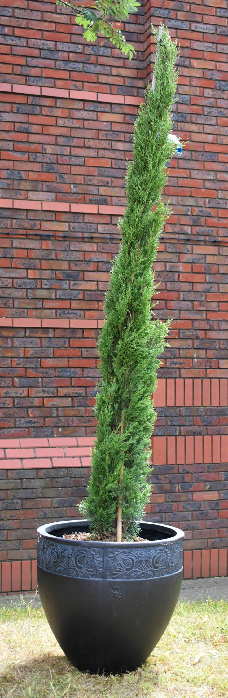 Italian Cypress 150-175cm 'Cupressus Sempervirens Totem' 18L Pot Italian Cypress trees are perfect for framing doors and gates, effortlessly adding a touch of the Mediterranean to your garden. Extremely easy to manage these stunning trees will maintain a pristine pencil