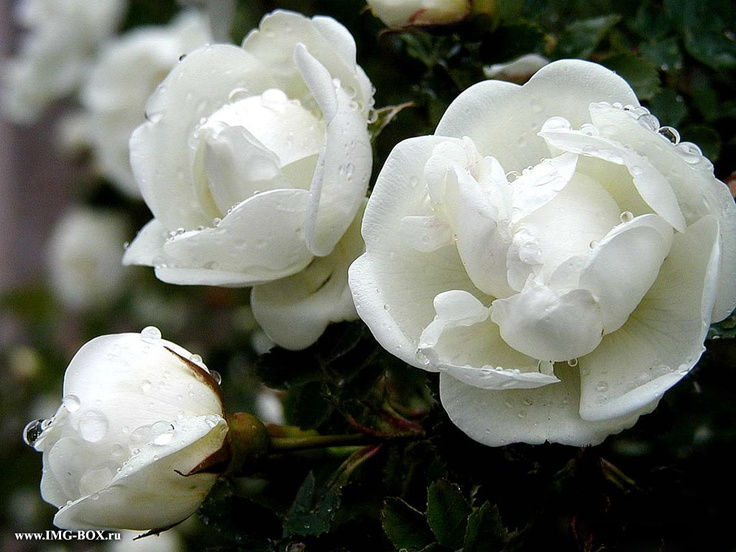 white peoniesWhite Flower, White Rose, White Lisianthus, Dreams, Jasmine, Flower Land, Dew Drop, Lisianthus Flower, White Peonies