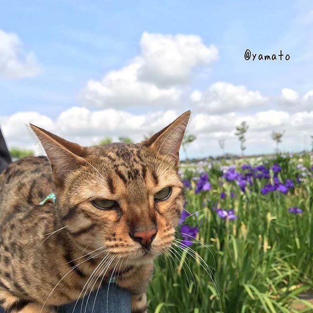 昨日は花菖蒲見に行ってきたにゃ。でも僕はお花より美味しいものが食べたいにゃぁ…  #ねこ #ねこすたぐらむ #にゃんすたぐらむ #ニャンスタグラム #cat #catsagram #ベンガル #ベンガル猫 #bengal #みんねこ #ねこ部 #ねこのきもち部 #ペピ友 #愛猫 #ねこ好き #ウェブキャットショー2 #花菖蒲 #あやめ祭り #佐原