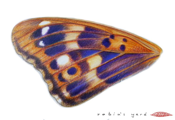Apatura metis (Freyer's Purple Emperor) forewing upperside with purple iridescence (watercolor and color pencils, 14,8x21cm)