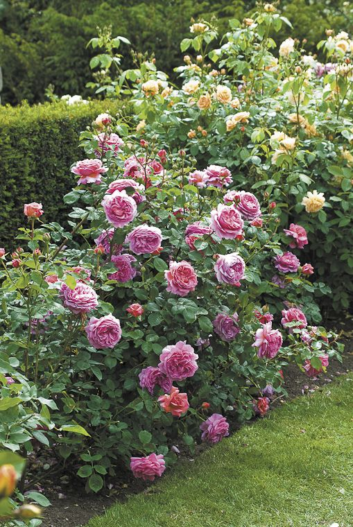 Changing fragrance - Princess Alexandra of Kent.  To learn how to grow beautiful roses, you can take an online course with David Austin here:  http://www.my-garden-school.com/course/david-austins-growing-roses/