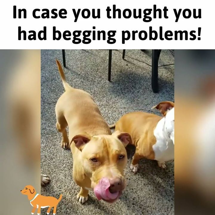 In case you thought you had begging problems! Credit: instagram.com/roofusandkilo/ #thepetscastle