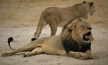 Cecil the lion: three US airlines ban shipment of hunting 'trophies' | Environment | The Guardian