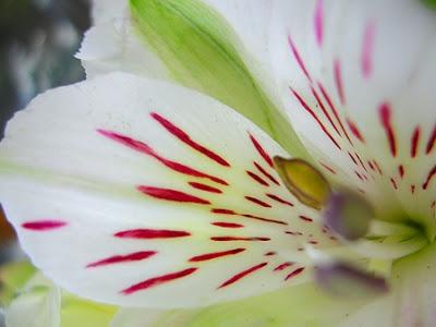 Fotos de Flores: Alstroeméria Importada