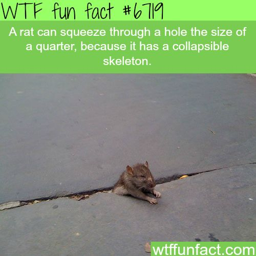 Rats can squeeze their body into a hole the size of a quarter - WTF fun fact