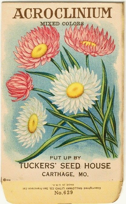 ACROLINIUM! (Mixed Colors) Vintage Flower Seed Packet Tuckers Seed House Lithograph (Carthage, Missouri)