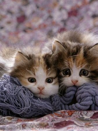 Domestic Cat Kittens, 8-Weeks, Tortoiseshell-And-White Sisters, (Persian-Cross')…