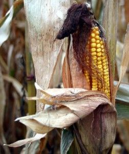 Why we DON'T use corn in our products! Corn Maize Gluten Causes Antibody Response in Celiac Patients