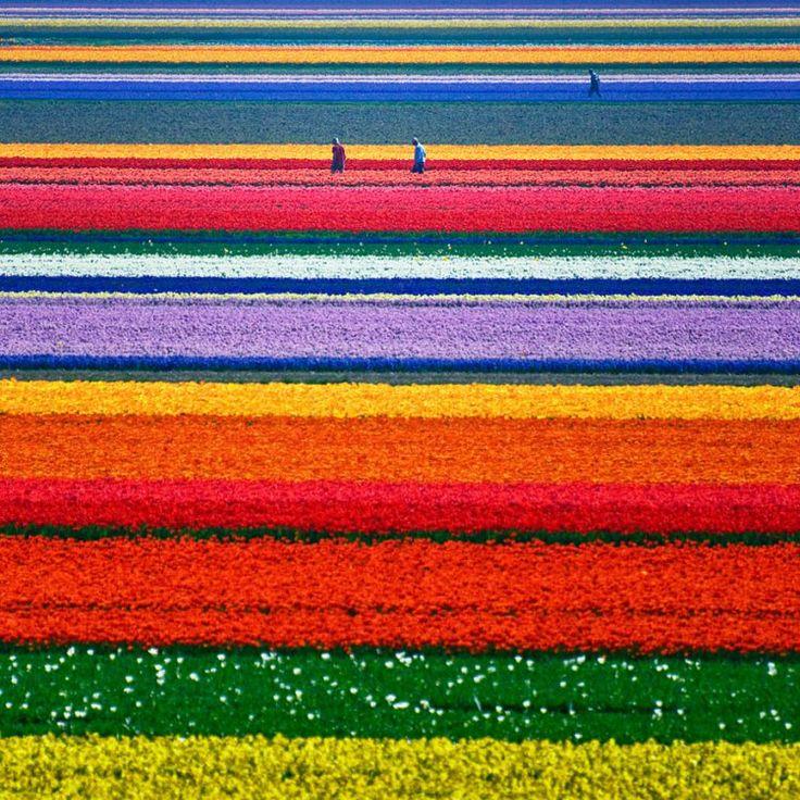 Campi di tulipani in Olanda. Image credits: Allard Schager