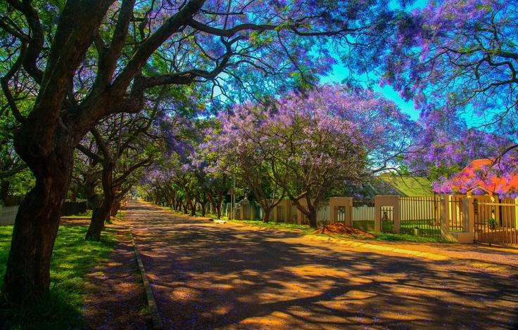Cullinan, in Oktober. Jacaranda trees in bloom