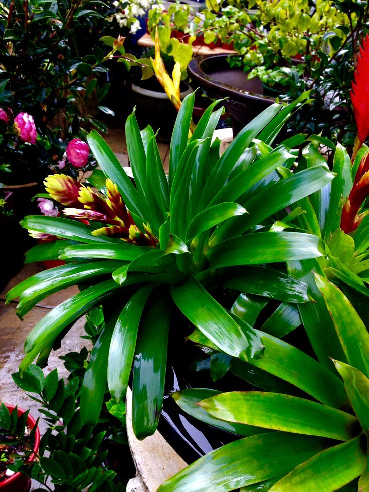 Bromeliads bring colour and are great for landscaping
