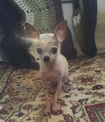 Lost Dog - Chihuahua Short Haired - Norcross, GA, United States 30071