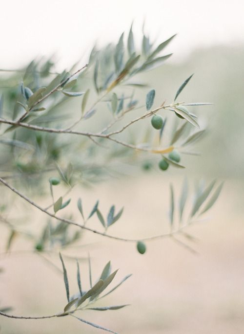Nature... branch of a beautiful olive tree.  Found @ http://thelittlefrenchbullblog.tumblr.com/post/45088124013