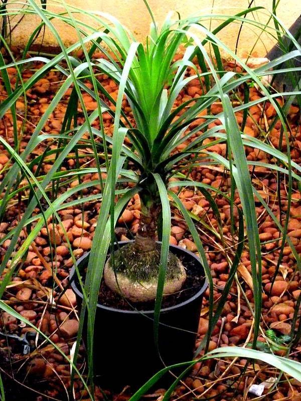 28 best images about plantas on pinterest trees plants - Planta pata de elefante ...