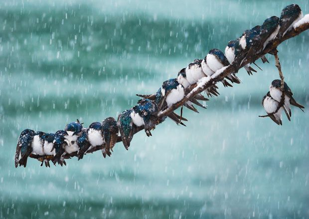 24 swallows huddling together on a single branch to conserve heat.