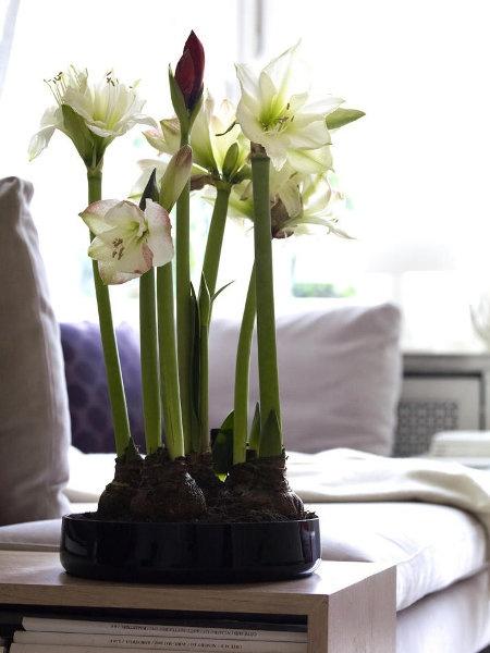 Amaryllisschale amaryllis deko pinterest for Zimmerpflanzen deko ideen