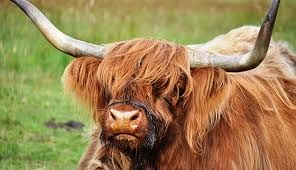 Image result for cattle