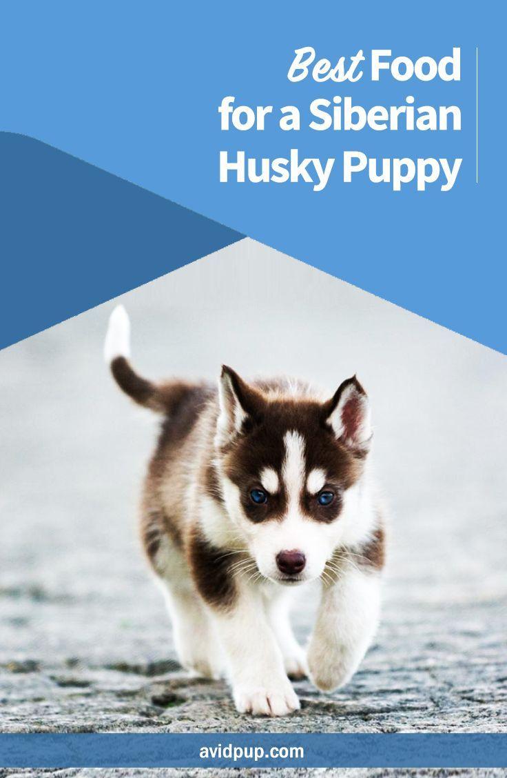 Best Food For A Siberian Husky Puppy Siberian Husky Puppy Husky