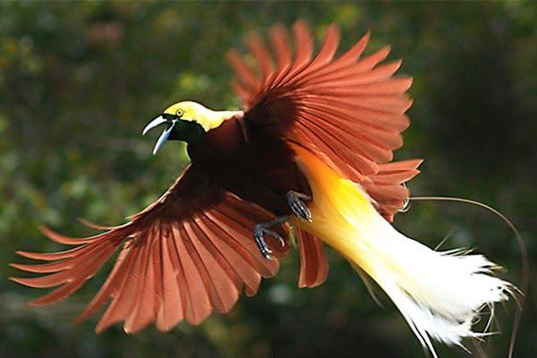 Foto Hewan Burung Burung Cenderawasih Warisan Anak Cucu Papua Cara Merawat Burung Kenari Agar Memiliki Suara Indah Citizen6 Jual Hewan Burung Binatang