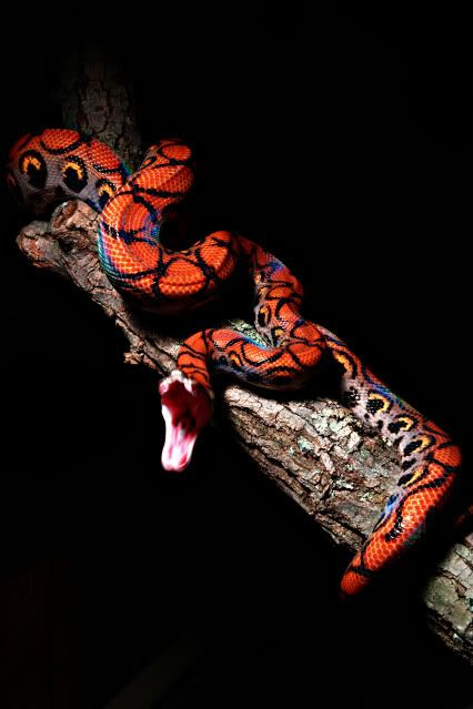 One of my favorite types of snakes. I used to have two. They're so pretty.