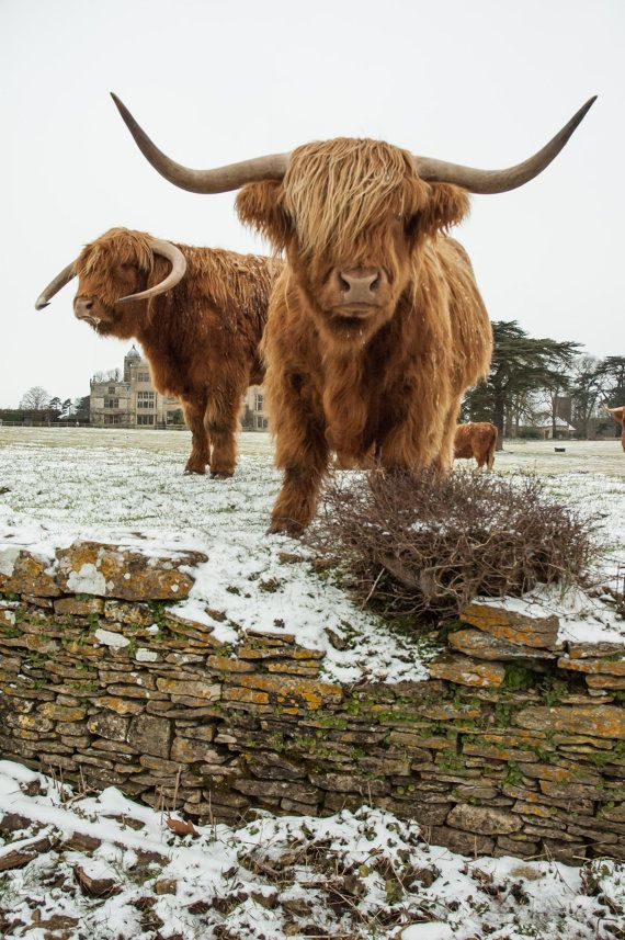 More of my Highland Cattle friends in light snow - positioning themselves perfectly - thanks boys! This is an UNMOUNTED/UNMATTED and UNFRAMED print. Each print is custom printed by a professional photo lab on Fuji Crystal Archive paper to last a lifetime ★ ★ ★ ★ ★ ★ ★ ★ ★ Enter my shop here: http://www.etsy.com/shop/shortwork ★ ★ ★ ★ ★ ★ ★ ★ ★ STANDARD PRINT INFORMATION AND PRICES 7x5 inches - £14 8x10 inches - £22 12x8 inches - £22 14x11 inche...