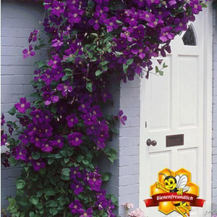"Clematis ""The President®"",1 Pflanze"