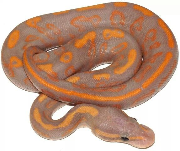 35 Best Images About Ball Pythons!!! On Pinterest