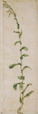 Planta de tabaco, hacia 1503 acuarela y aguada sobre papel, 35 x 12 cm Bayona, Museo Bonnat