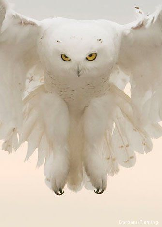 Snowy - The snowy owl's beautiful white plumage helps to hide it in its Arctic habitat. Only the males are completely white. Chicks are dark and spotted, while the females are white with spots on their wings.    The ghostlike snowy owl has unmistakable white plumage that echoes its Arctic origins.  Mystic animals - by Sherry Goldstein