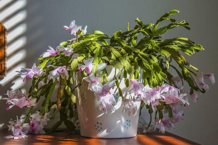 Le schlumbergia fleurit de la mi-décembre jusqu'à la fin janvier. Ce cactus est un peu particulier car, contrairement à bien des cactus,il ne pique pas et il ne ressemble pas à un cactus. Ses rameaux aplatis le font plutôt ressembler à une algue et, lorsqu'il fleurit, à une orchidée. La plupart des cactus de Noël sont roses mais il en existe des blancs et des formes à fleurs panachées. La palette s'agrandit avec de nouveaux coloris s'approchant du jaune et du rouge.