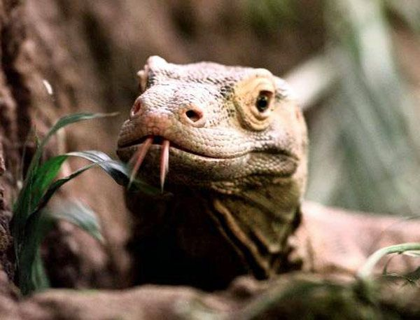Komodo dragon lizards may have weak bites, but their powerful throat muscles and razor-sharp teeth make up for their dainty chomp.