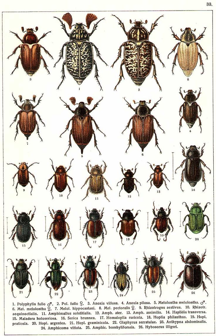 """G.G. Yakobson (1905-1915) - """"Beetles of Russia"""": table 33"""