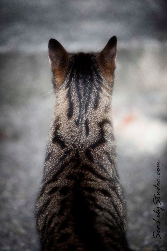 Tête de Henry 8 x 12 : chat photo photographie pour animaux de compagnie animaux chat tigré amant tan tigre noir décoration fine art imprimé...