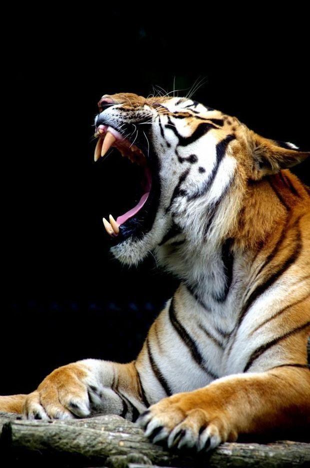 Le tigre, un des plus grands félins et prédateur de la planète / Source : Communauté photo, © siaegal