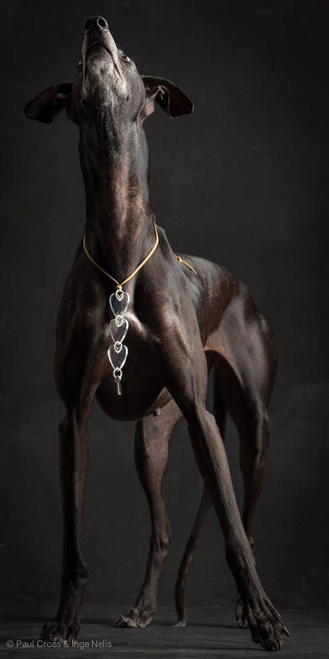 Spanish Greyhound                                                                                                                                                     More