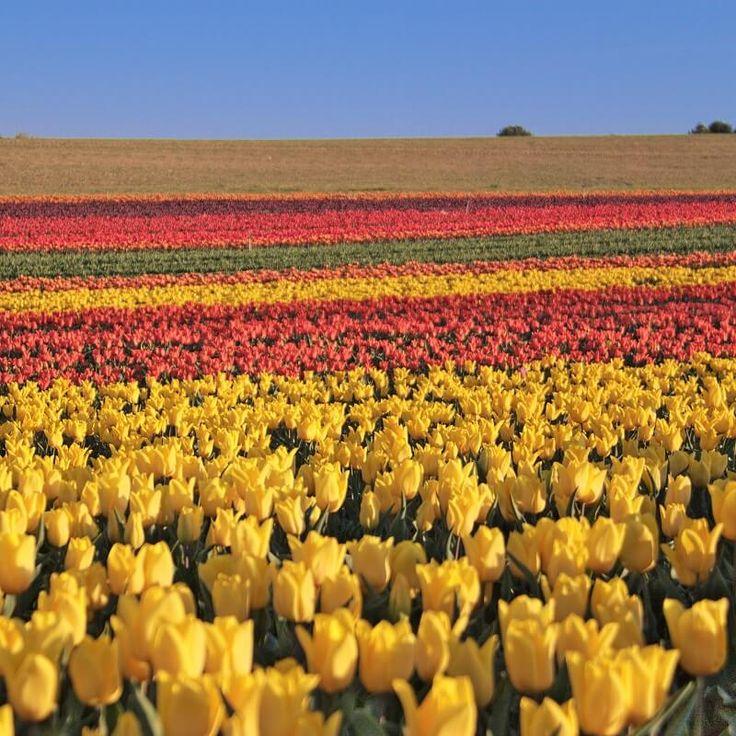 Champs de tulipe - Pays-Bas