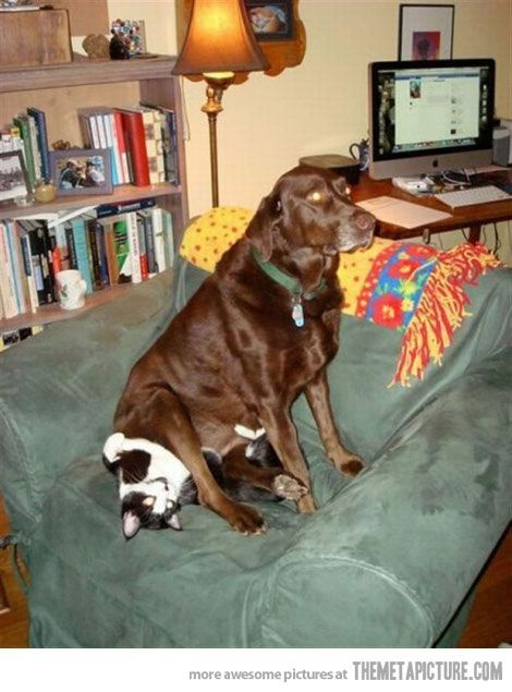 Perfect CatsitterFunny Dogs, Animal Humor, Dogs Cat, Funny Stuff, House, Funny Animal, Chocolates Labs, Kitty, Baby Cat