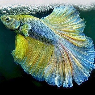 36 best images about beautiful bettas on pinterest for How big can a betta fish get