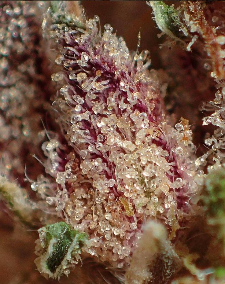 Cherry Pie strain up-close. 🍒  Happy Trichome Tuesday!