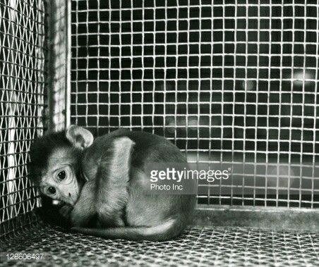 """Experiment van Harlow: aapjes werden op jonge leeftijd weggehaald bij hun moeder, sommige kregen een stoffen mama en een """"voedingsmama"""" ze brachten veel langer door bij de stoffen mama dan bij de voedingsmama. Dat deden ze omdat ze steun,troost,liefde en aandacht zochten. Op deze foto zie je een aapje dat geen van beide moeders had. Dit aapje is heel angstig en zal niet beginnen roepen bij een """"eng monster"""" maar zal doodsbang beginnen rillen in een hoekje."""