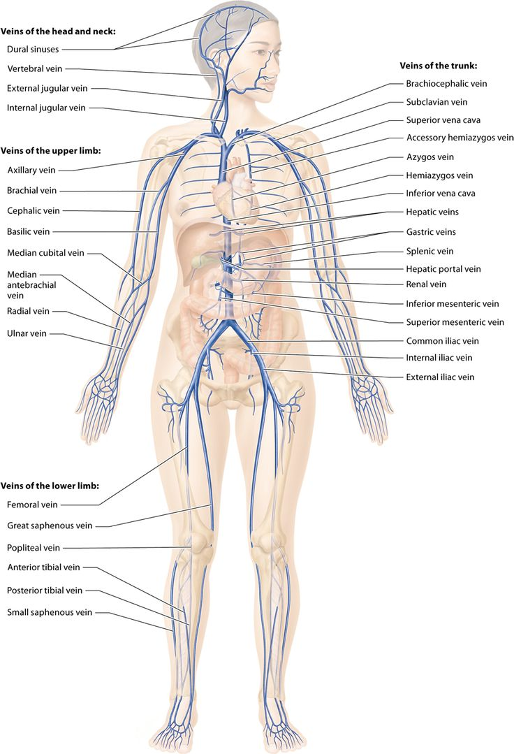 Module 18.7 Anatomy of the Systemic Veins: Human Anatomy and ...